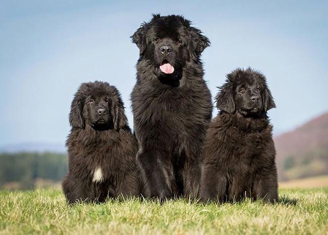 Top 10 giống chó có ngoại hình khủng nhất thế giới  - Ảnh 7.