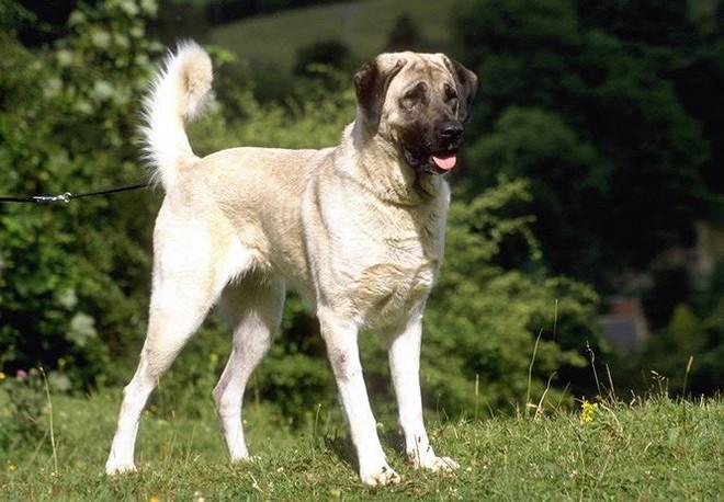 Top 10 giống chó có ngoại hình khủng nhất thế giới  - Ảnh 8.