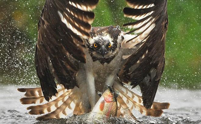 Khoảnh khắc nghẹt thở khi chim ưng biển phô diễn tài năng thiên bẩm của mình
