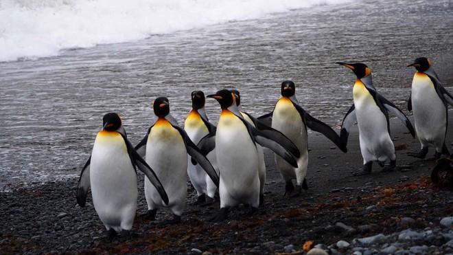 Vương quốc chim cánh cụt lớn nhất thế giới đã sụp đổ một cách bí ẩn mà khoa học vẫn không hiểu tại sao - Ảnh 5.