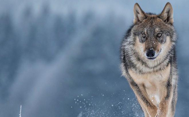 Con sói đầu tiên trong lịch sử rời khỏi Chernobyl, giới khoa học đang phải bám rất sát