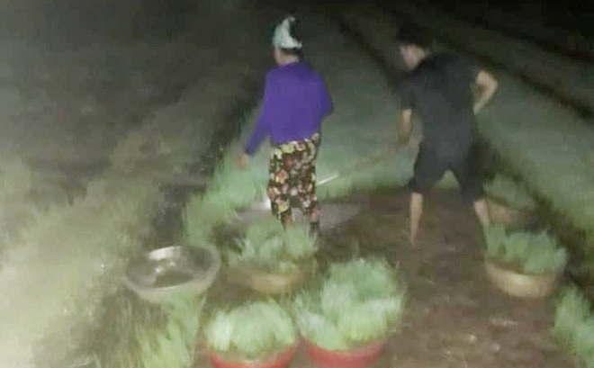 Nhìn cảnh các mẹ lọ mọ rọi đèn đi cấy giữa đêm tránh cái nóng 40 độ này mới biết những bác nông dân vất vả thế nào