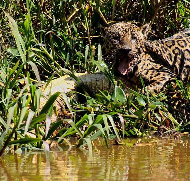 Bị mù một mắt, báo đốm vẫn lao xuống sông tử chiến với cá sấu: Mèo nào cắn mỉu nào? - Ảnh 6.