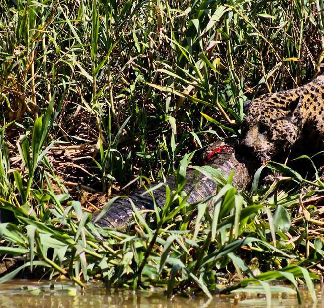 Bị mù một mắt, báo đốm vẫn lao xuống sông tử chiến với cá sấu: Mèo nào cắn mỉu nào? - Ảnh 4.