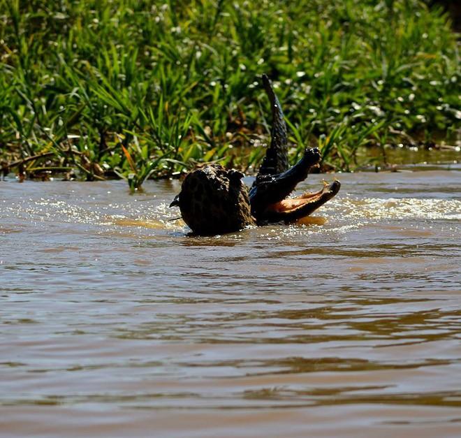 Bị mù một mắt, báo đốm vẫn lao xuống sông tử chiến với cá sấu: Mèo nào cắn mỉu nào? - Ảnh 3.