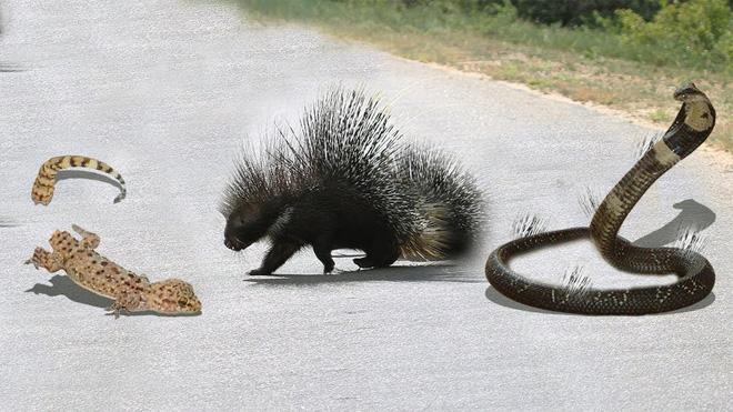 Đang định ăn thịt kỳ đà, rắn hổ mang phải tháo chạy vì kẻ thứ ba xuất hiện - Ảnh 1.