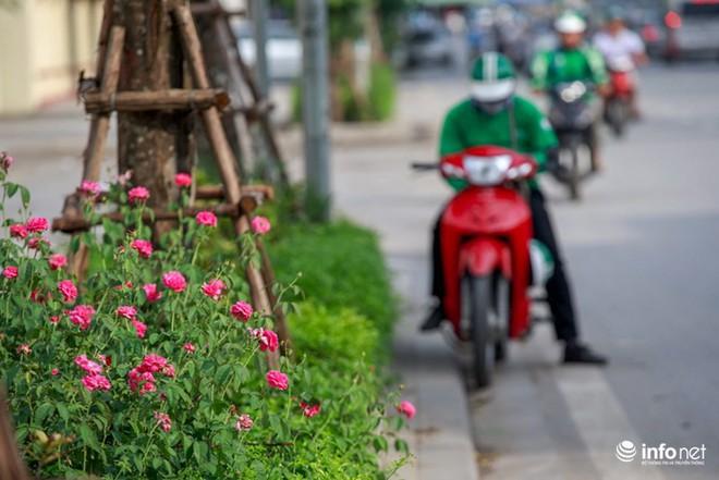Hà Nội bỗng xuất hiện con đường hoa hồng đầu tiên tuyệt đẹp - Ảnh 2.