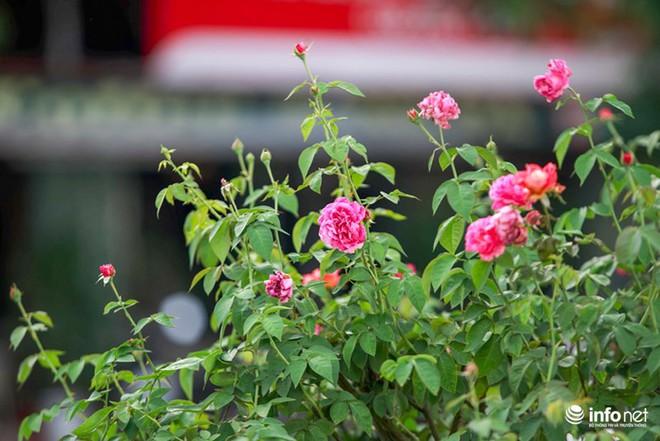 Hà Nội bỗng xuất hiện con đường hoa hồng đầu tiên tuyệt đẹp - Ảnh 3.