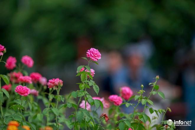 Hà Nội bỗng xuất hiện con đường hoa hồng đầu tiên tuyệt đẹp - Ảnh 4.