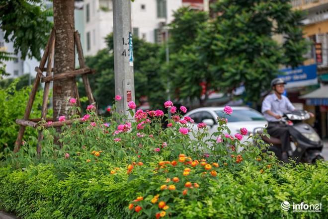 Hà Nội bỗng xuất hiện con đường hoa hồng đầu tiên tuyệt đẹp - Ảnh 6.