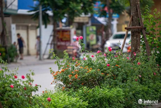 Hà Nội bỗng xuất hiện con đường hoa hồng đầu tiên tuyệt đẹp - Ảnh 7.