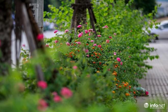 Hà Nội bỗng xuất hiện con đường hoa hồng đầu tiên tuyệt đẹp - Ảnh 8.
