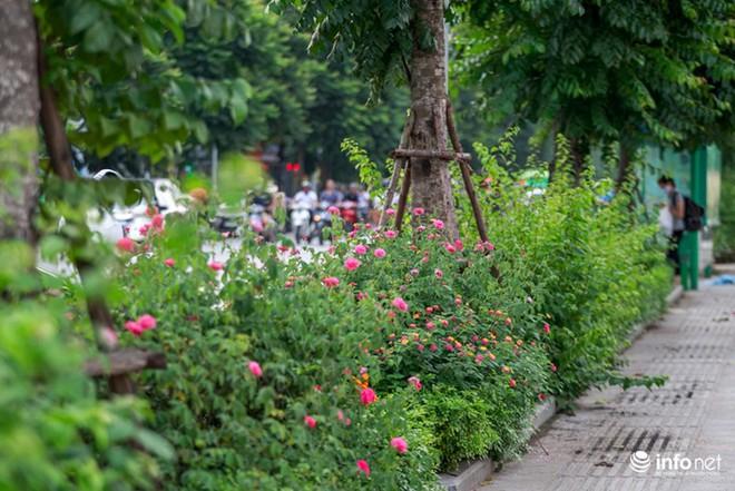 Hà Nội bỗng xuất hiện con đường hoa hồng đầu tiên tuyệt đẹp - Ảnh 10.