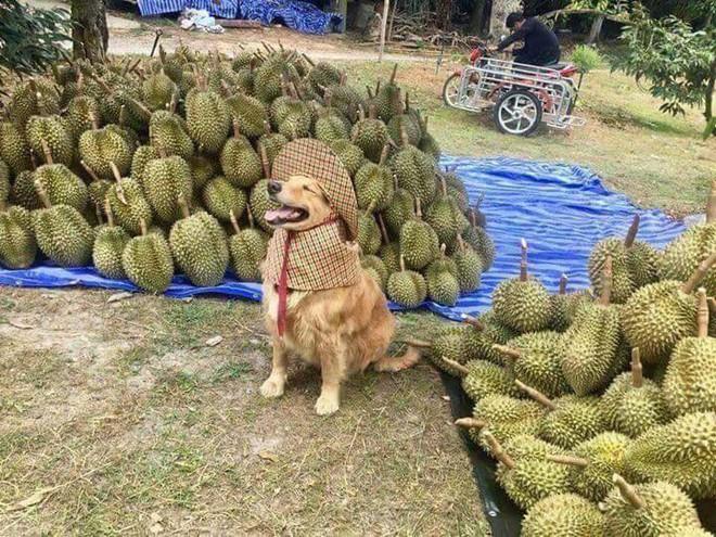 Chú chó nhỏ đội mũ chống nắng, hớn hở ngồi bán sầu riêng khiến dân mạng thích thú - Ảnh 1.