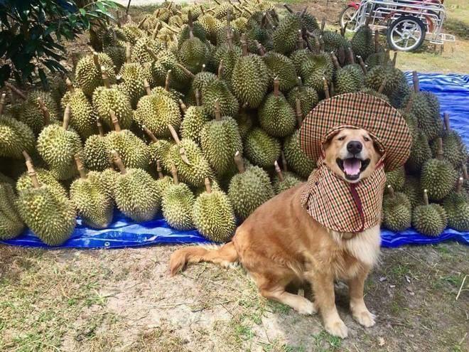 Chú chó nhỏ đội mũ chống nắng, hớn hở ngồi bán sầu riêng khiến dân mạng thích thú - Ảnh 3.