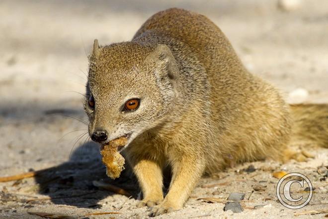 Cầy Mangut cắn nát đầu, ăn tươi nuốt sống loài rắn kịch độc ngay trên cây - Ảnh 1.