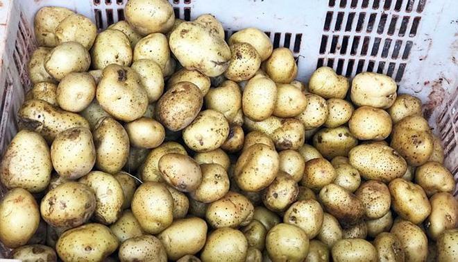 Bắt quả tang vụ mông má cả tấn khoai tây Trung Quốc thành khoai Đà Lạt   - Ảnh 1.