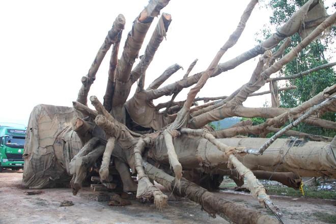 Bất ngờ với hình ảnh ba cây quái thú bị tạm giữ ở Huế sau 5 tháng - Ảnh 1.