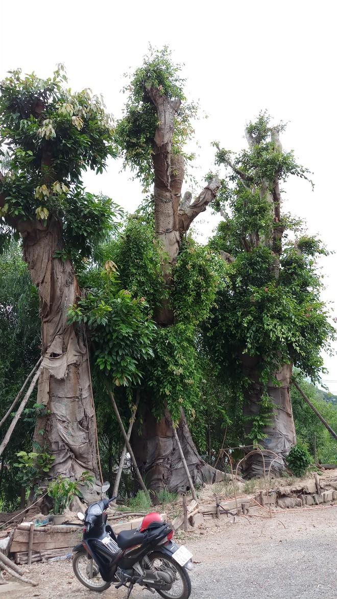 Bất ngờ với hình ảnh ba cây quái thú bị tạm giữ ở Huế sau 5 tháng - Ảnh 2.