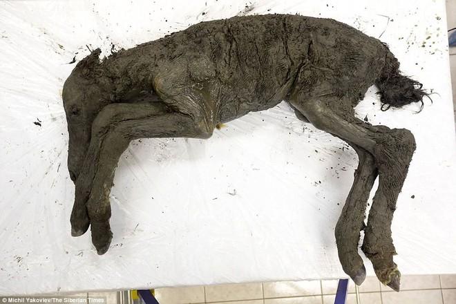 Phát hiện hóa thạch ngựa còn nguyên vẹn sau 40.000 năm tại hố tử thần ở Siberia - Ảnh 3.