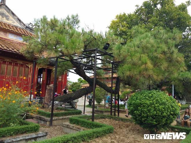 Ảnh: Cây thông trăm tuổi có dáng kỳ dị bậc nhất Hoàng Thành triều Nguyễn - Ảnh 2.