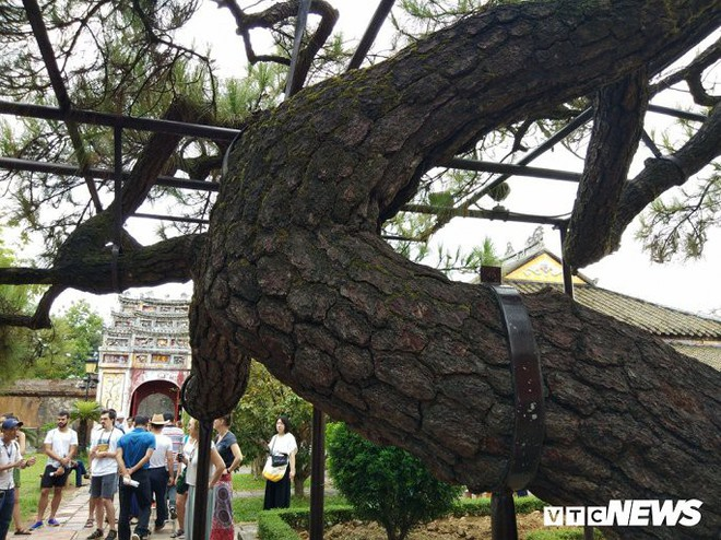 Ảnh: Cây thông trăm tuổi có dáng kỳ dị bậc nhất Hoàng Thành triều Nguyễn - Ảnh 3.