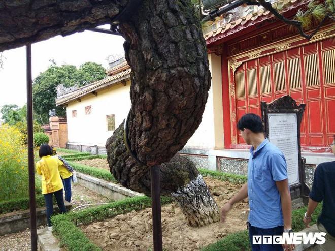 Ảnh: Cây thông trăm tuổi có dáng kỳ dị bậc nhất Hoàng Thành triều Nguyễn - Ảnh 6.