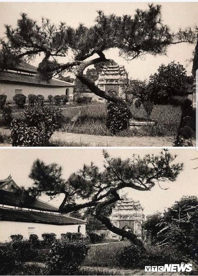 Ảnh: Cây thông trăm tuổi có dáng kỳ dị bậc nhất Hoàng Thành triều Nguyễn - Ảnh 7.