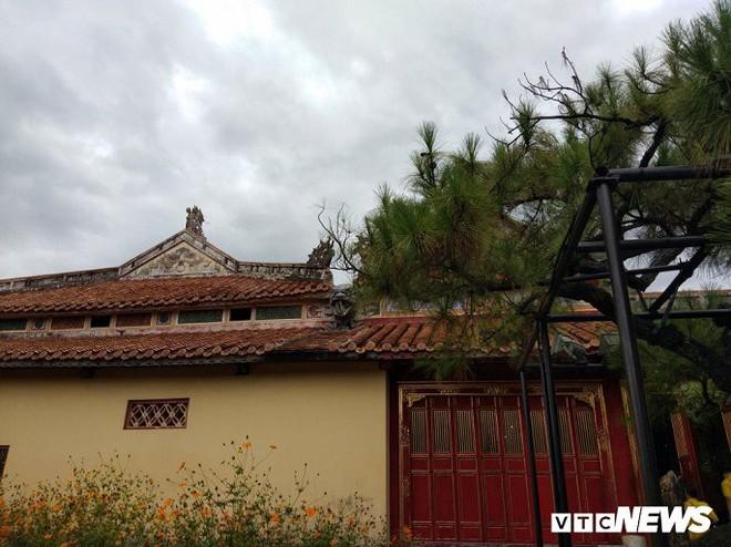 Ảnh: Cây thông trăm tuổi có dáng kỳ dị bậc nhất Hoàng Thành triều Nguyễn - Ảnh 8.