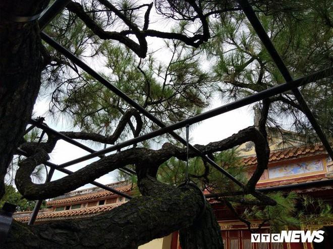 Ảnh: Cây thông trăm tuổi có dáng kỳ dị bậc nhất Hoàng Thành triều Nguyễn - Ảnh 9.