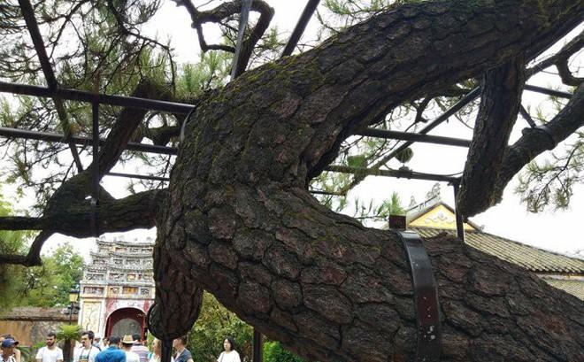 Ảnh: Cây thông trăm tuổi có dáng kỳ dị bậc nhất Hoàng Thành triều Nguyễn