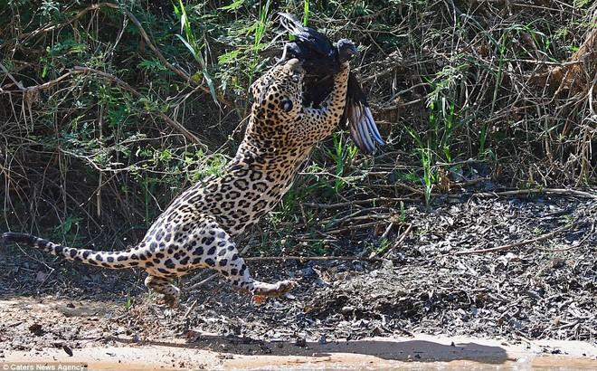 Khoảnh khắc kịch tính: Kền kền vụt bay lên nhưng 'sát thủ' đã nhanh hơn 1 tích tắc!