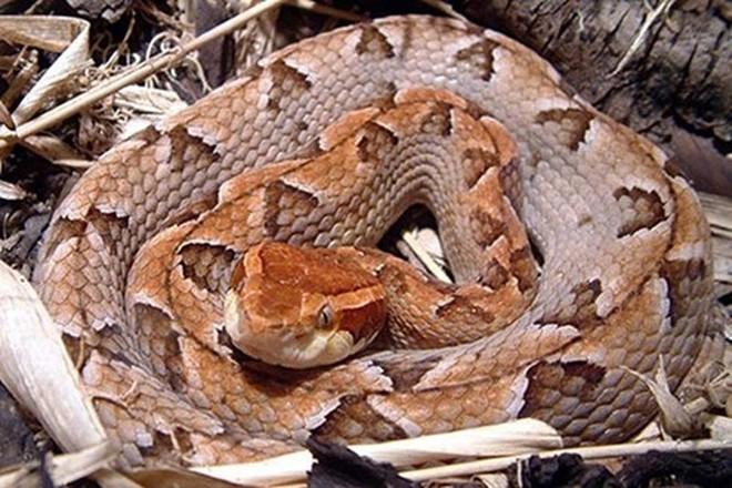 Loài rắn cực độc nhìn tưởng cành cây khô ở Việt Nam - Ảnh 2.