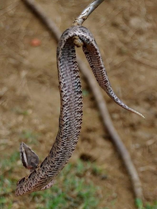 Loài rắn cực độc nhìn tưởng cành cây khô ở Việt Nam - Ảnh 4.
