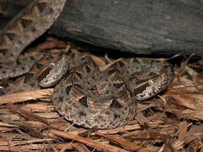 Loài rắn cực độc nhìn tưởng cành cây khô ở Việt Nam - Ảnh 5.