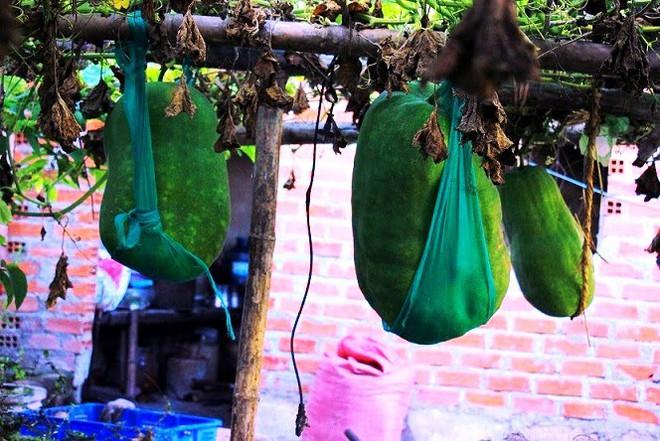 Làng trồng bí đao khổng lồ, có trái nặng tới 80kg ở Bình Định - Ảnh 1.