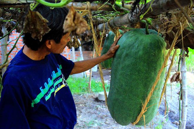 Làng trồng bí đao khổng lồ, có trái nặng tới 80kg ở Bình Định - Ảnh 2.