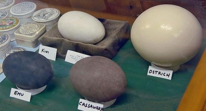 Loài chim kỳ lạ này tuy bé nhỏ nhưng đẻ trứng thì thuộc loại to nhất thế giới - Trò đùa của tạo hóa ư? - Ảnh 3.
