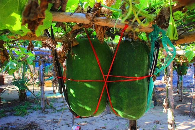 Làng trồng bí đao khổng lồ, có trái nặng tới 80kg ở Bình Định - Ảnh 3.