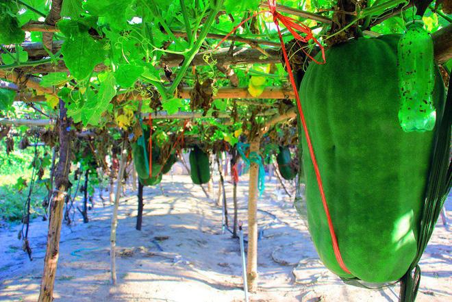 Làng trồng bí đao khổng lồ, có trái nặng tới 80kg ở Bình Định - Ảnh 4.