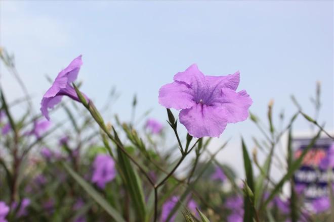 Đẹp ngỡ ngàng với con đường hoa tím bên dòng sông Tô Lịch - Ảnh 6.