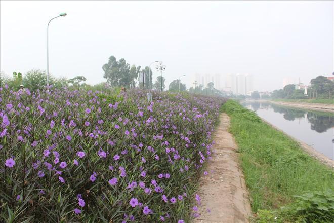 Đẹp ngỡ ngàng với con đường hoa tím bên dòng sông Tô Lịch - Ảnh 9.