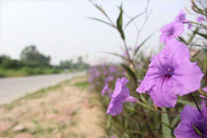 Đẹp ngỡ ngàng với con đường hoa tím bên dòng sông Tô Lịch - Ảnh 10.