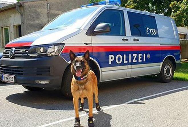 Chó cảnh sát đi giày chống nóng - Ảnh 1.