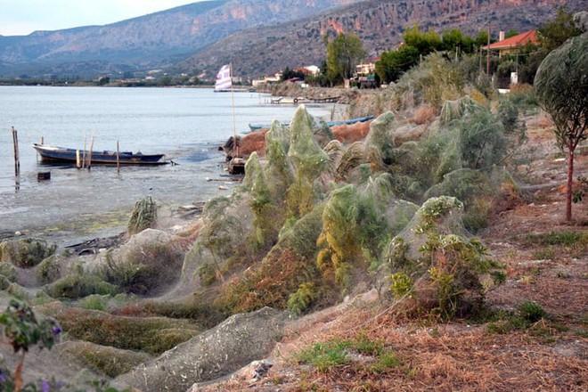 Bờ biển Hi Lạp bị mạng nhện khổng lồ bao phủ, dân mạng bấn loạn đòi đốt sạch trước khi lũ nhện sinh sôi nảy nở - Ảnh 4.