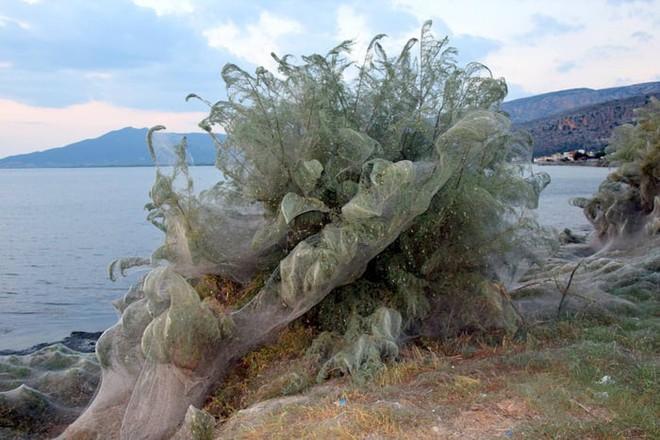 Bờ biển Hi Lạp bị mạng nhện khổng lồ bao phủ, dân mạng bấn loạn đòi đốt sạch trước khi lũ nhện sinh sôi nảy nở - Ảnh 7.