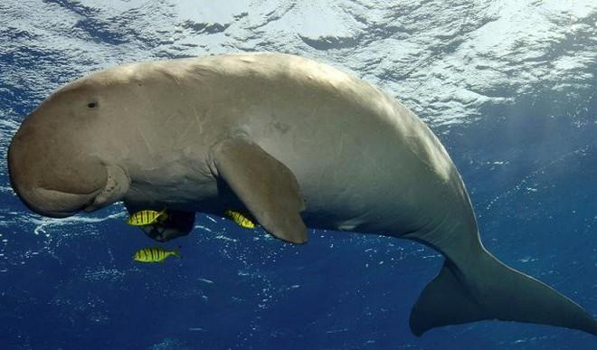 Đau lòng chuyện ăn thịt nàng tiên cá dưới biển để... sung mãn ở Phú Quốc - Ảnh 1.