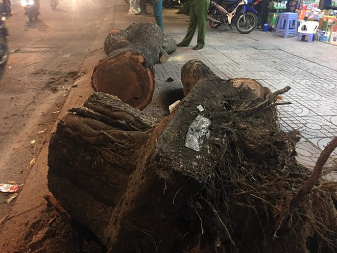 Cây cổ thụ khủng bật gốc ngã chắn ngang đường, 2 bà cháu bị đè dưới tán cây ở Sài Gòn - Ảnh 1.