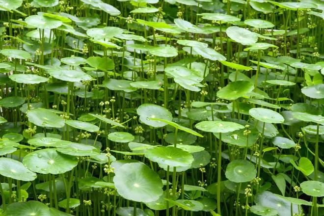 Giải mã loại cây dại được đổi đời thành rau organic trong trang trại đẳng cấp quốc tế - Ảnh 2.
