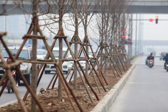 Cận cảnh cây phong lá đỏ mới được trồng trên đường phố Hà Nội - Ảnh 5.